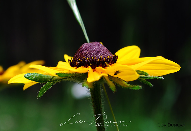 Black-Eyed Susan<br /> August, 2009