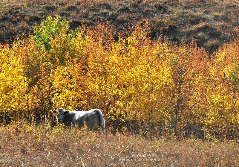 Cow #2<br /> October, 2012