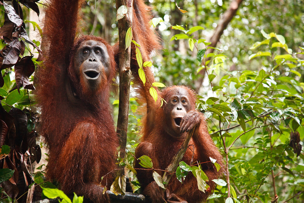 A mother and child voice their discontent at Camp Leakey. Offspring are highly dependent on their mothers; they are often carried until they are five years old and may nurse until they are eight! A female's birth cycle is unusually long, having a baby once ever eight years.