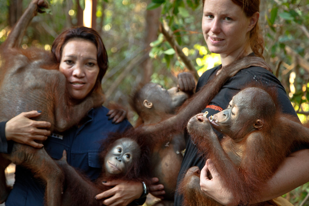 Canadian volunteer Ruth Linky (right) studied under Galdikas at Simon Fraser University where Galdikas still teaches. Linky is one of several surrogate mothers at the Orangutan Care Center, where ninety percent of orangutans are orphans. The surrogacy role is important because in the wild, young orangutans are carried on their mothers' backs until they are about five years old.