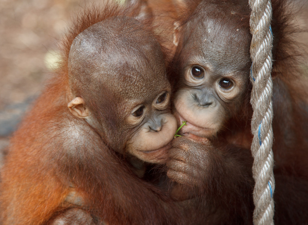 Two orphaned infant orangutans that have become inseparable at the Orangutan Care Center. Human surrogate mothers must care for them until they are seven or eight, the age when they are able care for themselves in the wild.