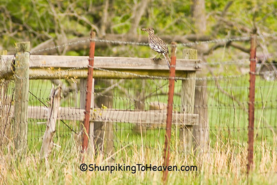 Greater Roadrunner, Newton County, Arkansas