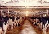 Ringelstetter Holsteins in the Barn, Jefferson County, Wisconsin