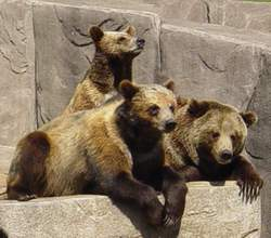 three bears