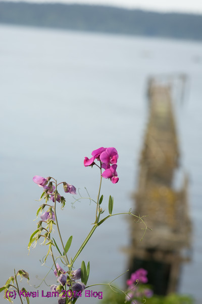 bloom over old pier anyone? Waiting for the ferry at S. Vashon.