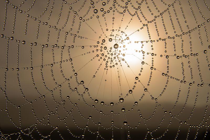 Fuktpärlad spindelväv i dimhöljd gryningstid, i september.