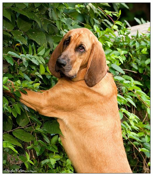 Hank - Bloodhound