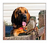 Hank - The Bloodhound