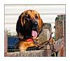 Hank - The Bloodhound