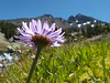 an aster and Broken Top