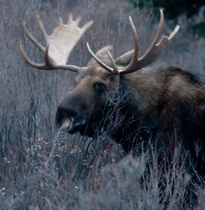 Bull Moose - Banff National Park