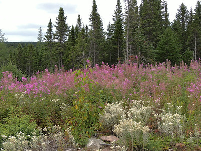 Berry Picking- Beautiful fireweed