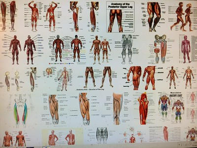 Medical: Parts of the Muscular System – GoodnewsHealthandFitness