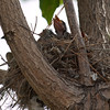 P6291797_Kingbird-Nest