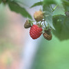early blooming raspberry
