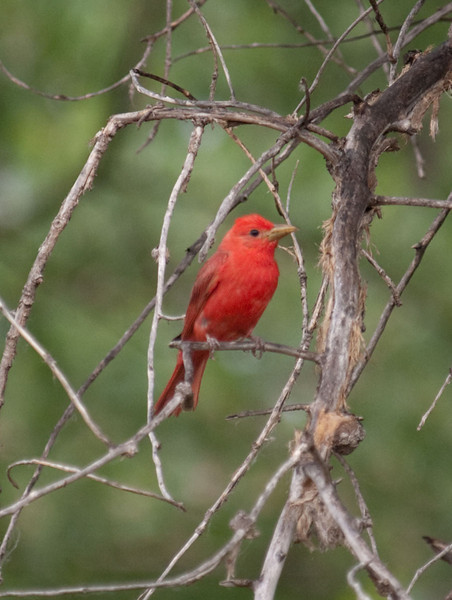 P6292019_Summer_Tanager