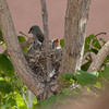 P6291796_Kingbird-Nest