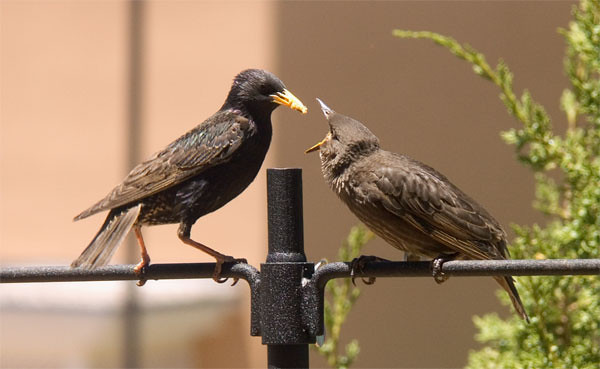 PICT4264b_Mother and Child Starlings_2