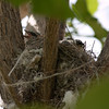 P6291777_Kingbird Nest