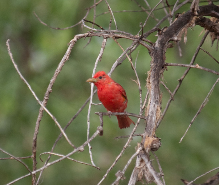 P6292016_Summer_Tanager
