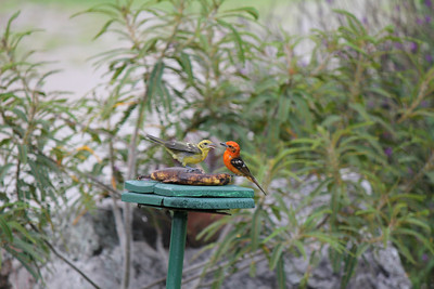 Boquete Birds