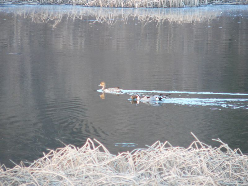 Male and female Northern Pintail