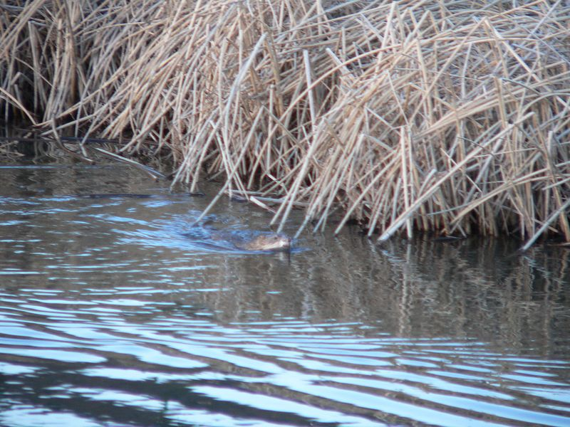 2nd beaver