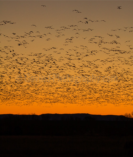 Snowgeese Predawn Flight