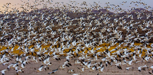 Snowgeese Flock