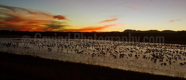 Sandhill Cranes Feeding at Dusk