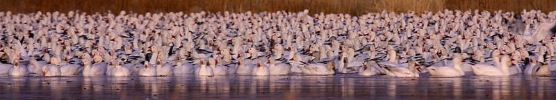 Early Morning Snowgeese