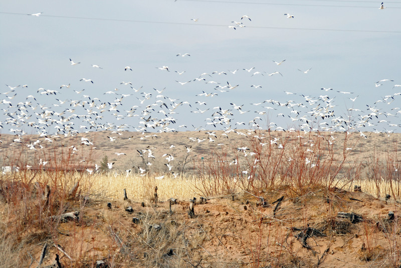 """Later that day, we went to another reserve about 40 miles up the road.  Birds (geese and cranes) were much more prevalent there, as the corn was still good.  We got to witness another small """"flyaway"""" (and fly-in) as the geese lifted off and went to another nearby field - still in our view."""