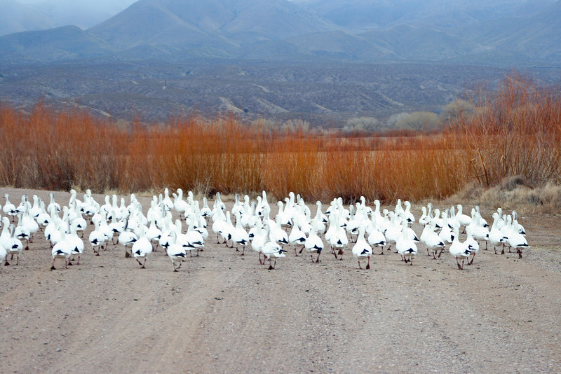 """A day or two later, we ran into this flock of snow geese, taking up the whole of the tour road, not bothering to move.  Geese are not nearly as smart as the cranes, and one can see where the phrase """"silly goose"""" comes from."""
