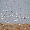 Part of the same lift-off of these snow geese.