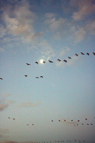 """We arrived very early on Day 1, hoping to view a """"fly away"""" around sunrise.  This is the first picture I took, showing some geese or cranes against the moon.  It was somewhat darker than the picture shows."""