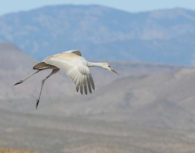 Sandhill Crane (Juvenile)