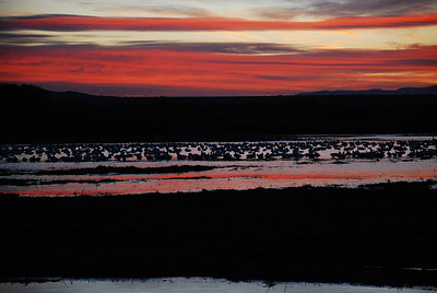 Snow Geese and Sandhill Cranes predawn.