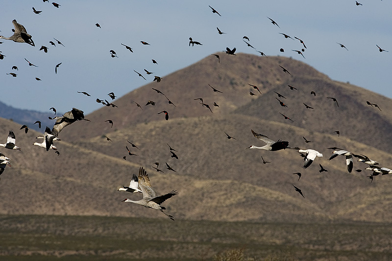 Sandhill Cranes, Snow Geese ans Red-Wing Blackbirds