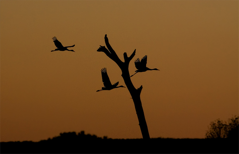 Sandhill cranes at sunset.