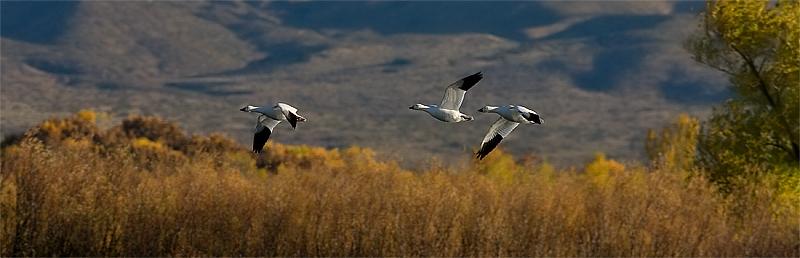 Snow geese pano