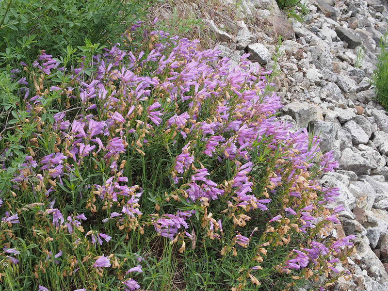 There weren't many penstemon plants in the Fraser Canyon, but they were very showy and easily noticeable even from inside a car traveling at highway speed.
