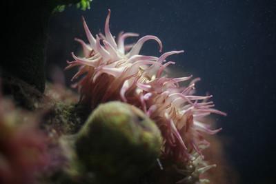 Sea Anemonenoneneee