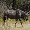Wildebeast Cow, Pilanesberg National Park SA