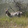 Water Buck Pilinsburg