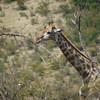 Giraffe, Pilanesberg National Park SA