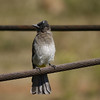 Black-headed Bulbul, Pilanesberg National Park SA