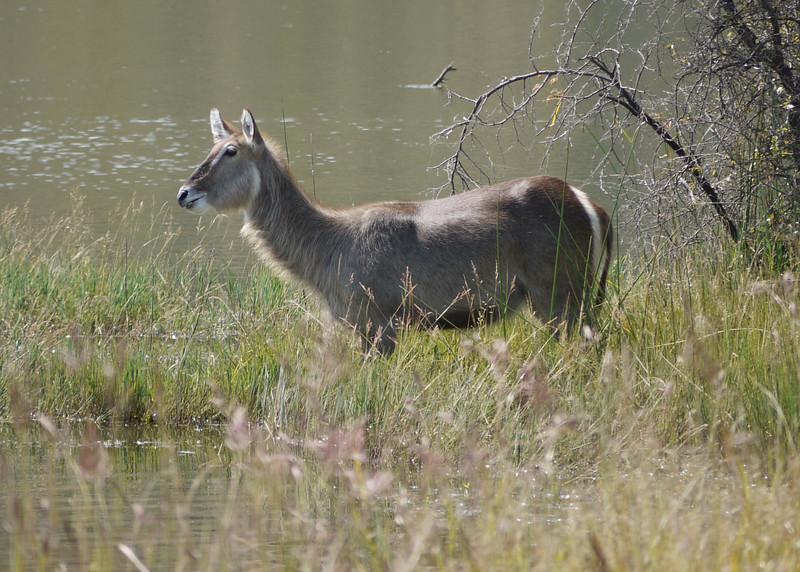 Water Buck, Pilanesberg National Park SA