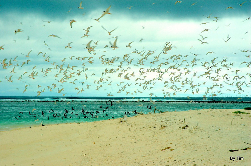 Morne Island.  sooty headed terns take flight. The dark birds are the skuas which have been raiding there nests