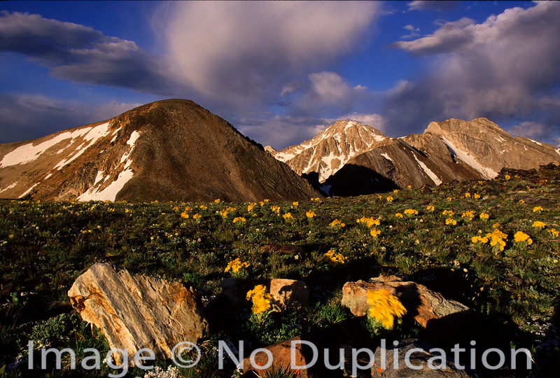 Alpine Sunflowers on Railroad Ridge, White Cloud Mountains, Idaho