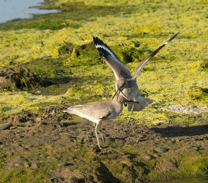 its a couple of Willets duking it out,    TAKE THIS YOU SOB